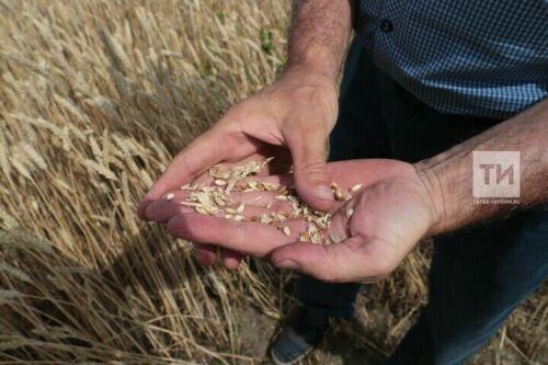Хабиров: Башкирия соберет вдвое меньше зерна